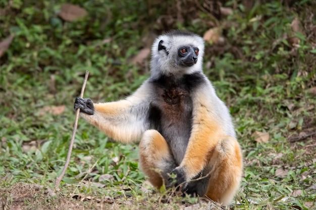 Sifakamaki met diadeem. sifaka is een geslacht van primaten uit de indriaceae-familie, die alleen op het eiland madagaskar wordt verspreid.