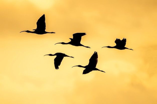 Silhouet van groep glanzende ibis (plegadis falcinellus) bij de rijstvelden bij zonsondergang in albufera de valencia, valencia, spanje.