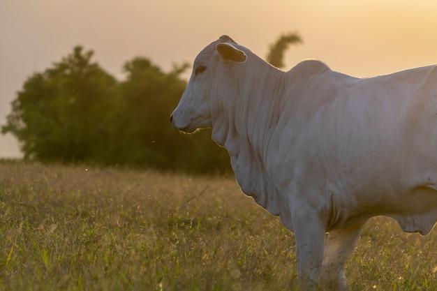 Silhouet van nelore-vee bij zonsondergang aan het eind van de dag