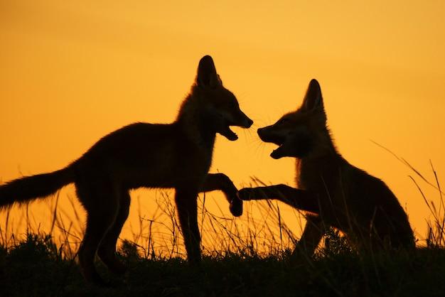 Silhouet van vossen spelen bij zonsondergang
