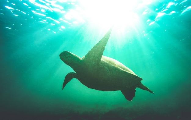 Silhouet van zeeschildpad die onder water zwemt in het nationale park van de galapagos