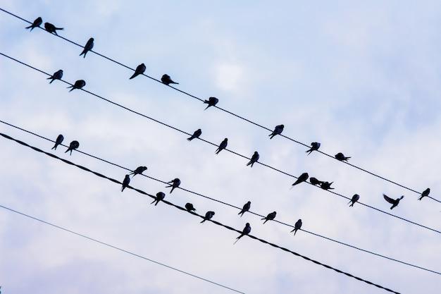 Silhouetten van zwaluwen op elektrische draden tegen de achtergrond van een donkere hemel