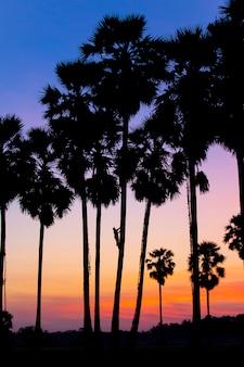 Siluet-boeren beklimmen de palmbomen om 's morgens suiker te verzamelen.