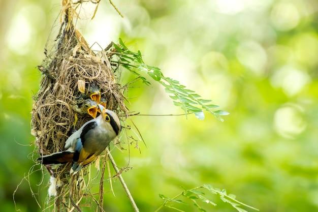 Silver-breasted broadbill (serilophus-lunatus) voedende baby in het nest