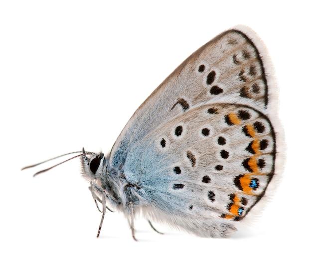 Silver-studded blue, plebejus argus -species of lepidoptera, ook wel hairstreak butterfly genoemd, op wit geïsoleerd