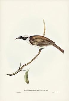 Silvery-crowned broedvogel (tropidorhynchus argenticeps) geïllustreerd door elizabeth gould