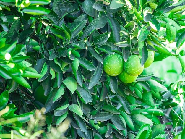Sinaasappel aan de boom, fruitplantage.