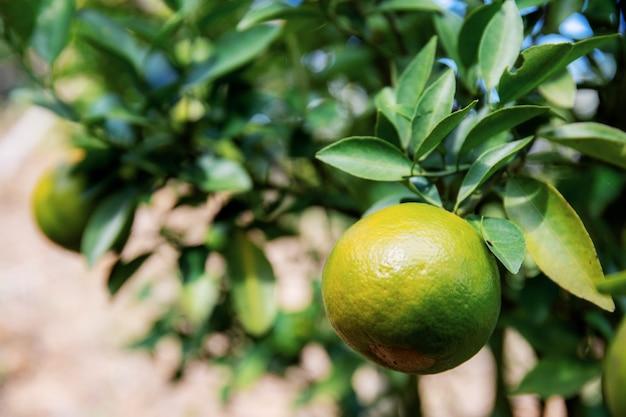 Sinaasappel op boom in landbouwbedrijf.