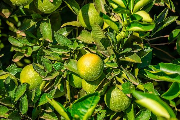 Sinaasappel op de boom, fruitplantage.