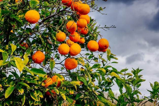 Sinaasappelbomen plantages