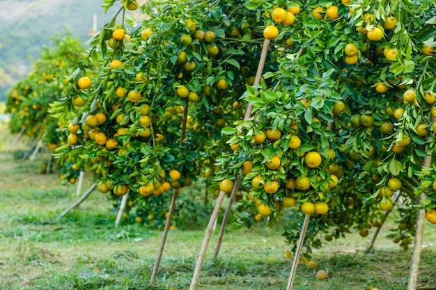 Sinaasappelboom in de tuin. landbouwbedrijf van fruit