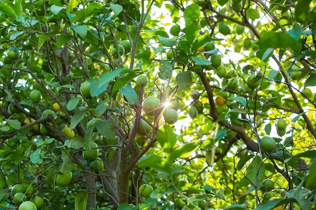 Sinaasappelboom met groene sinaasappels in de tuin