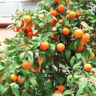 Sinaasappelen aan de bomen in de straten van athene