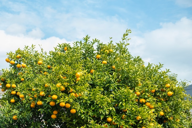 Sinaasappelenvruchten met blauwe hemel