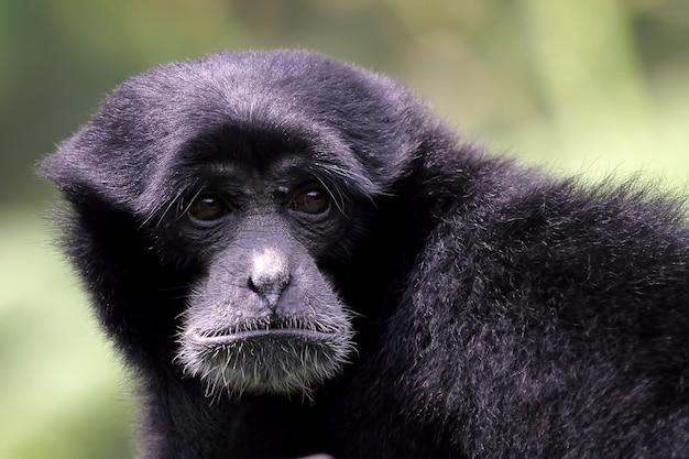 Singe gibbon gibbons close-up door hun baby primaten close-up dier close-up vast te houden