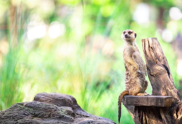 Single alleen en schattig meerkat staan op droge tak
