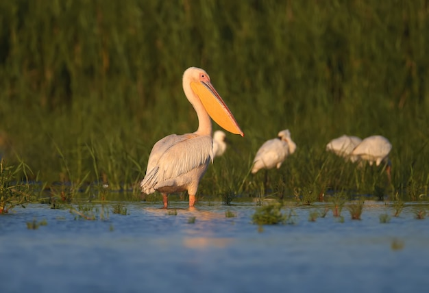 Singles en groepen grote witte pelikaan (pelecanus onocrotalus) worden gefotografeerd terwijl ze in blauw water staan tegen een achtergrond van groene waterplanten in zacht avondlicht.
