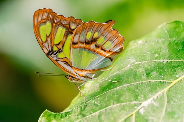 Siproeta stelenes (malachietvlinder)