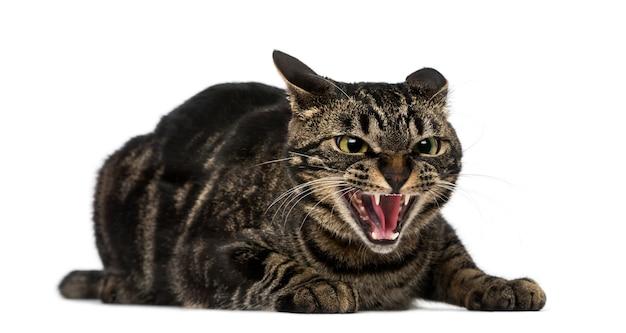 Sissende kat van gemengd ras