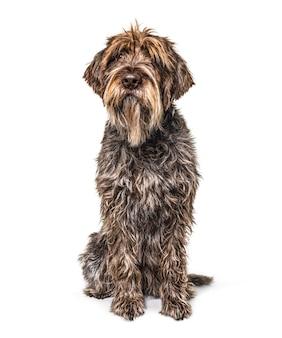 Sjofele korthals-hond zit vooraan en kijkt omhoog