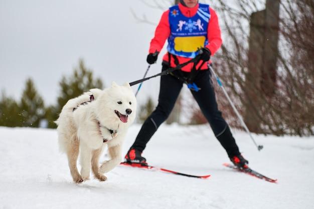 Skijoring hondenraces. winter hondensportcompetitie. samojeed hond trekt skiër