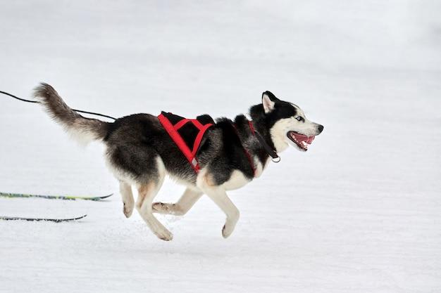 Skijoring hondenraces. winter hondensportcompetitie. siberische husky hond trekt skiër. actief skiën op besneeuwde langlaufpaden