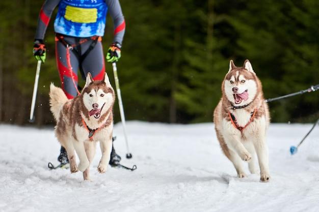 Skijoring hondenraces. winterhondensportcompetitie. siberische husky hond trekt skiër.
