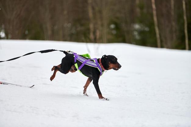 Skijoring hondenraces. winterhondensportcompetitie.