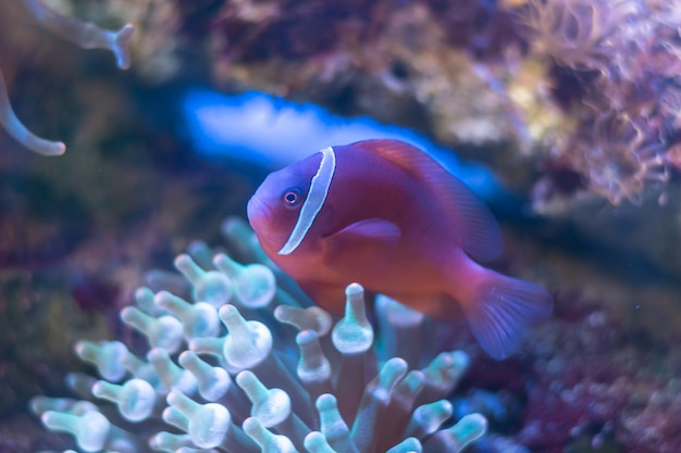 Skunk clownfish, nosestripe anemonefish, whitebacked clownfish