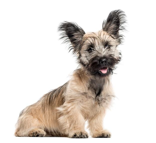 Skye terrier hondenzitting geïsoleerd op wit