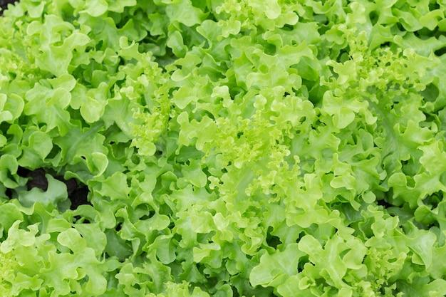 Sla in de biologische moestuin. verse groenten voor het maken van salades