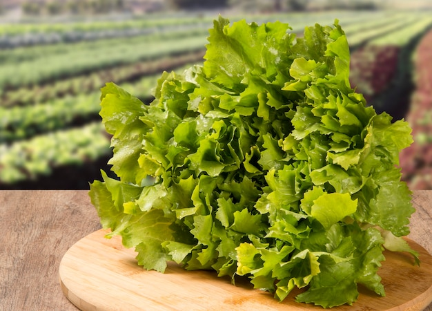 Sla, plant in moestuin, close-up