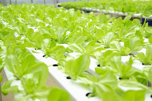 Slagroenteteelt in plantenkwekerij in hydrocultuurboerderij