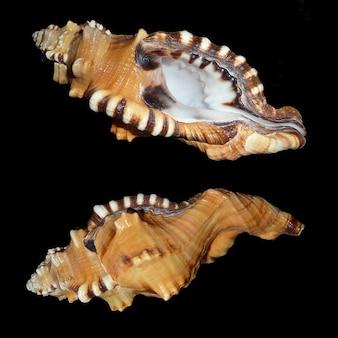 Slak behuizing shell slakken triton littorinimorpha