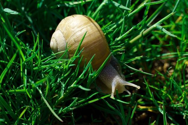 Slak in groen gras. een soort grote eetbare landslak die lucht inademt.