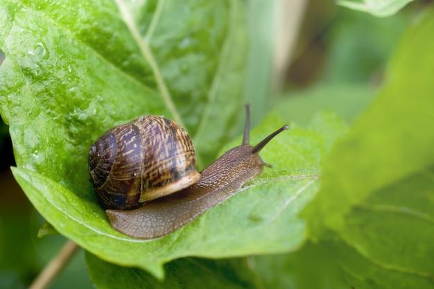 Slak kruipen op een breed groen blad na de regen,
