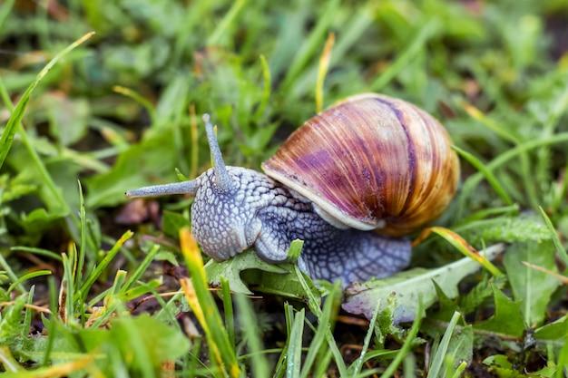 Slak op de achtergrond van groen gras. slak eet 's ochtends gras