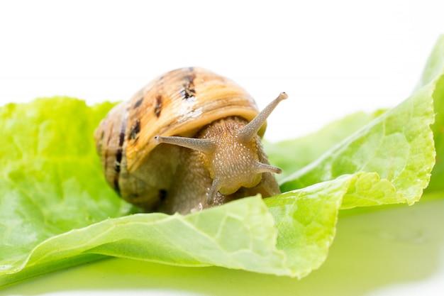 Slak op groen saladeblad, dat in wit wordt geïsoleerd