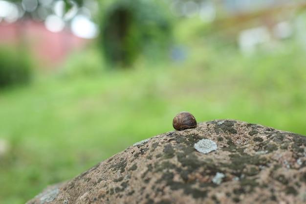Slak verstopt in zijn schelp op een rots