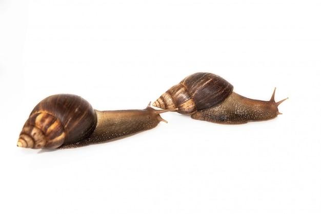 Slakken achatina op witte achtergrond wordt geïsoleerd die