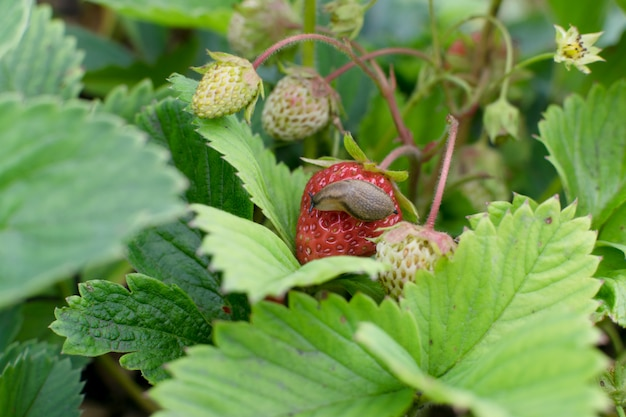 Slakken, naaktslakken of bruine naaktslakken vernietigen planten in de tuin