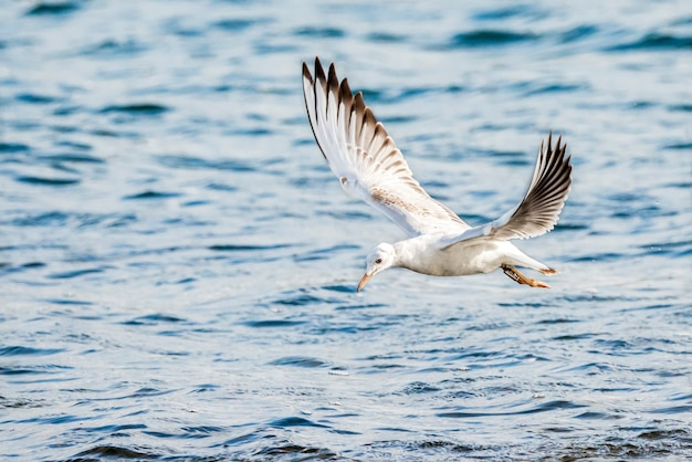 Slankbekmeeuw die vliegt in het natuurpark albufera van valencia