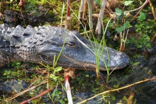 Slapen krokodil, everglades, florida