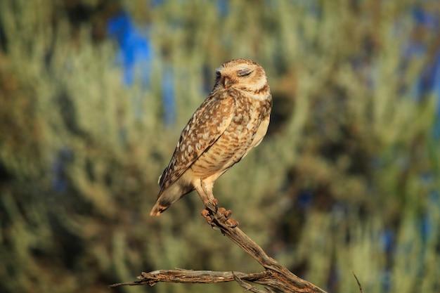 Slapende burrowing owl perching met gesloten ogen