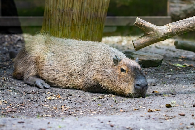 Slapende capybaras - hydrochaeris hydrochaeris - het grootste levende knaagdier ter wereld.