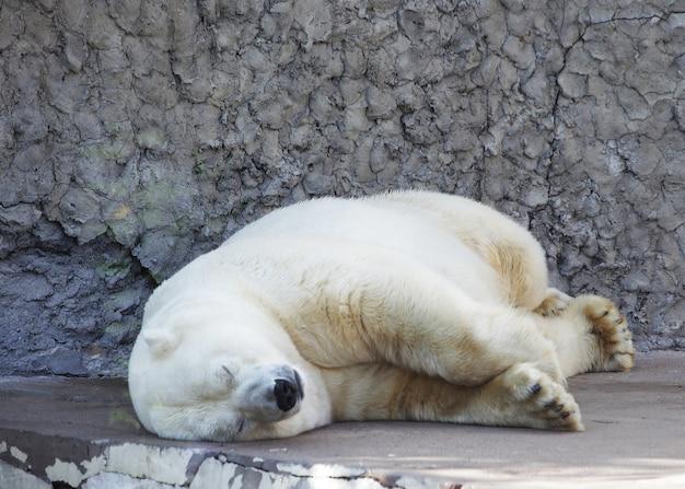 Slapende ijsbeer