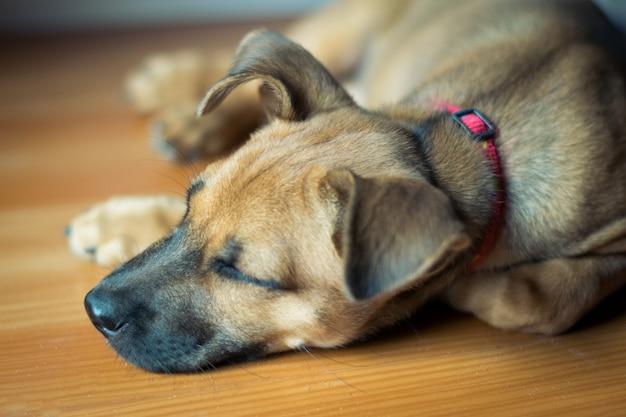 Slapende puppy hond