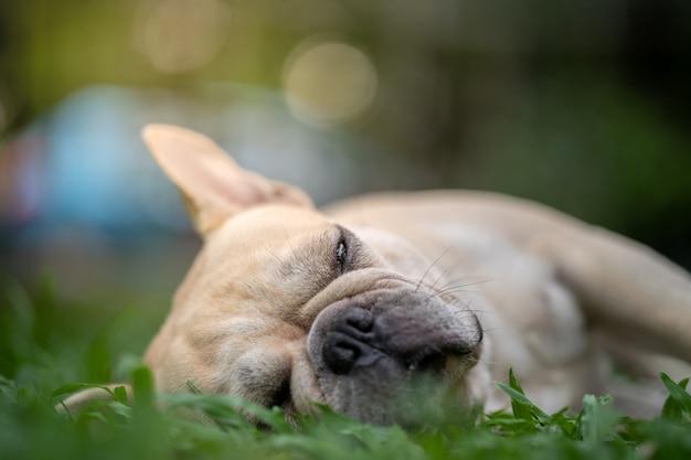 Slaperige franse bulldog liggend op gras