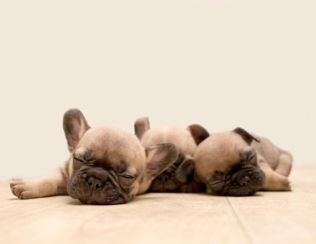 Slaperige franse bulldog-puppy's. schattige kleine pup.