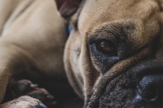Slaperige franse bulldog